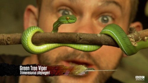 Dom and tree viper